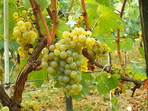 300px-Chardonnay_Moldova[1]